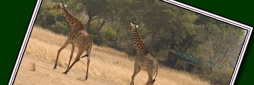 Katavi has some of the best wildlife and is the 3rd largest park in Tanzania yet due to it's remoteness Katavi is still unknown. Click for info on Katavi Wildlife.